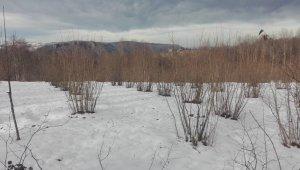 Ordu'daki kar yağışı, fındığın verimini arttıracak