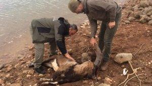Siirt'te nesli tükenmekte olan dağ keçisi yükselen baraj suyunda telef oldu