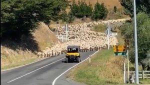 Yeni Zelanda'da 3 bin kuzu köprüyü trafiğe kapattı