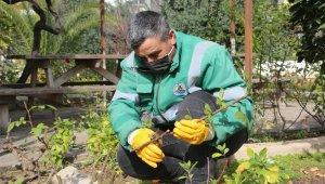 Erdemli Belediyesi, yılda 14 bin gül fidesi üretiyor