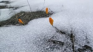 Kar ve çiğdemler bir arada