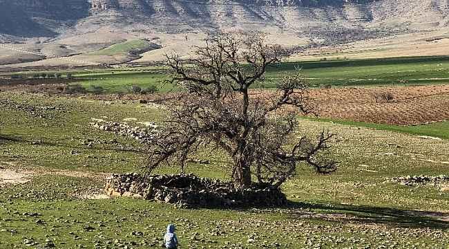 Mardin'de köylüler, 250 yıllık meşe ağacının koruma altına alınmasını istiyor