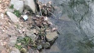 Nesli tükenmekte olan su samurları balık avlarken görüldü