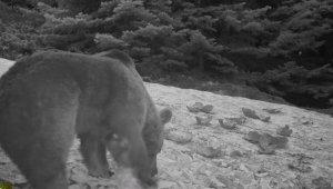 Uludağ'da kış aylarında ayıların karpuz keyfi