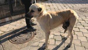 40 santimetrelik tümörden kurtulan sokak hayvanı sahiplenmeyi bekliyor