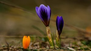 Bursa'da baharın müjdecisi kardelenler çiçek açtı - Bursa Haberleri