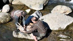 Köpeklerin saldırısı sonucu dereye düşen karacaya buz gibi sudan çıkartarak kalp masajı yaptılar