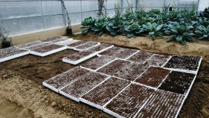 'Ata tohumları' toprakla buluştu - Bursa Haberleri