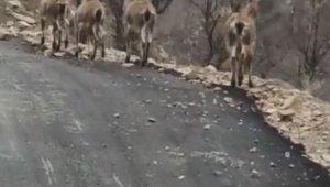 Aç kalan yaban keçileri köye indi