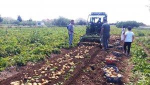 Datça'da ilk turfanda Patates hasadı