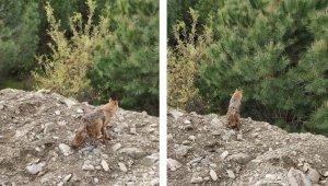 Kuyudan kurtarılan tilki doğal yaşam alanına bırakıldı