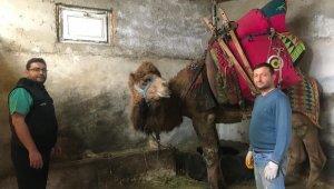 Şampiyon deve 'Çılgın Cambaz' yeni sezona hazırlanıyor