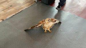 Şanlıurfa'da yaralı Kızıl Şahin tedavi altına alındı