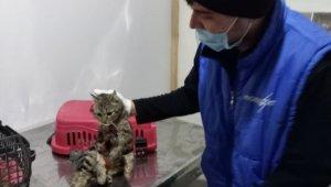 Sokak kedisi boynuna takılan tasma nedeniyle yaralandı