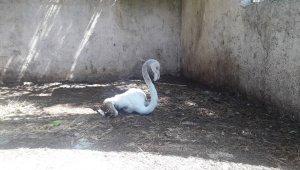 Yavru flamingo doğal yaşam alanına salınacak