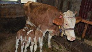 2 yaşındaki inek 'üçüz' doğurdu: Herkes görmeye geliyor