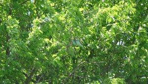 Avrupa arı kuşları görüntüleriyle hayran bırakıyor