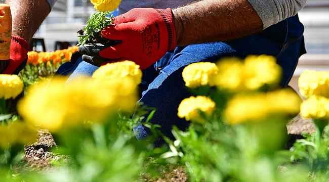 Belediyenin ektiği çiçekler çalındı
