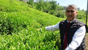 Çay sezonu başlarken üreticiler kotadan memnun
