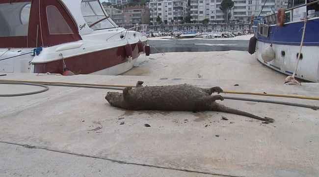 Deniz salyaları canlıların sonu oluyor... Balıklardan sonra su samuru - Bursa Haberleri
