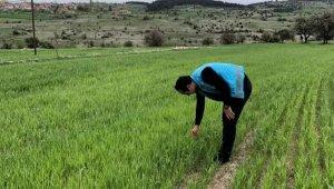 Emet'te tarım alanlarında süne ile mücadele