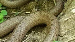 Fındık bahçelerinde yılanlar görülmeye başladı