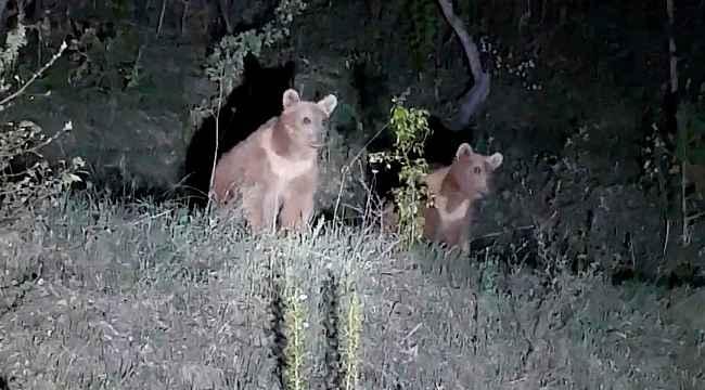 Yavru ayıların ilginç görüntüleri kameralara takıldı