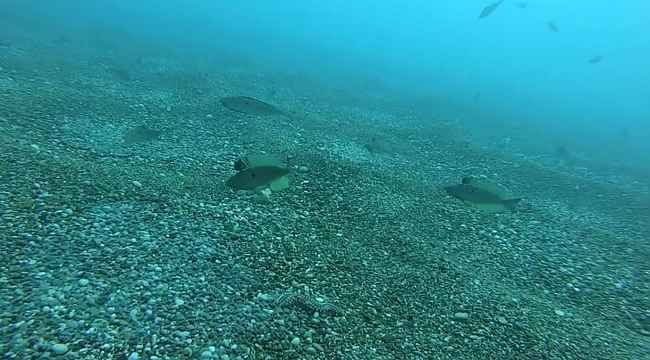 Zehirli deniz çıyanının izmarit balıklarının yumurtalarına saldırması su altı kamerasında