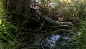 2 metrelik siyah yılan, kendi boyundaki gri benekli yılanı yedi