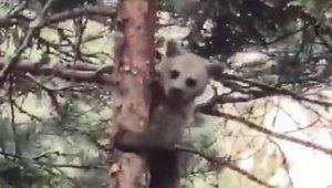 Artvin'de minik ayı yavrusunun ağaçtaki sinirli görüntüsü ve ağaçtan inişi cep telefonu kameralarına yansıdı