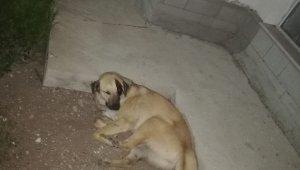 Başkent'te kafasına sallama darbesi aldığı iddia edilen köpek gözünü kaybetti