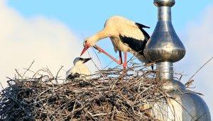 Cami kubbesine yuva yapan leylekler yavrularını göçe hazırlıyor
