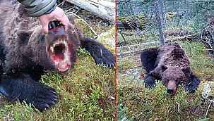 Dehşete düşüren olay.... Canavar ayı, Rusya'da 16 yaşındaki çocuğu parçaladı