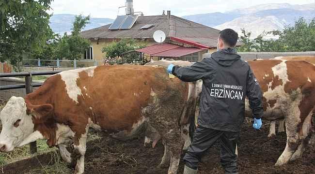 Erzincan'da hayvanlar kenelere karşı ilaçlanıyor