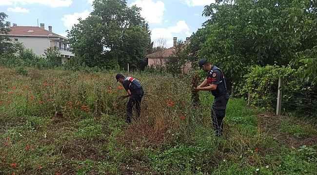 Kırklareli'nde izinsiz ekilen 975 kök haşhaş ele geçirildi
