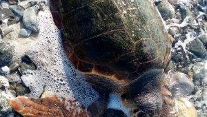 Ölü deniz kaplumbağası karaya vurdu