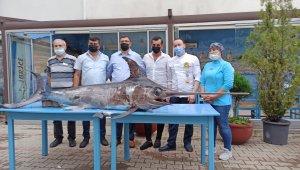 Saros Körfezi'nde yakalanan dev kılıçbalığı ilgi odağı oldu