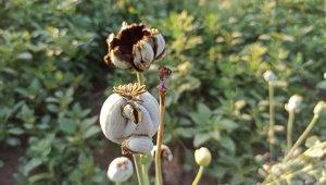 Şuhut'ta kuvvetli yağış buğday ve haşhaş ekili alanlara zarar verdi