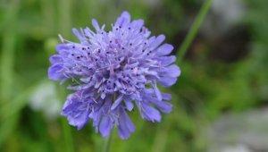 Tarla Lavinya Çiçeği Türkiye florasına kazandırıldı
