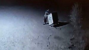 Tunceli'de ayılar, restorana geldi çöpleri karıştırırken görüntülendi