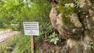 Üzerinde el figürü oluşan ağaç koruma altına alındı