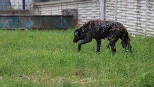 Yol kenarına dökülen zifte bulanan köpek 3.5 saatte kurtarıldı