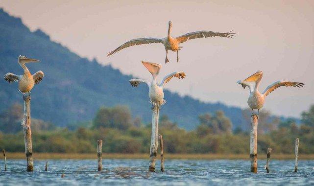 Tepeli pelikanlar Bursa'da - Bursa Haberleri